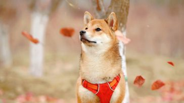 shiba inu pes podzim